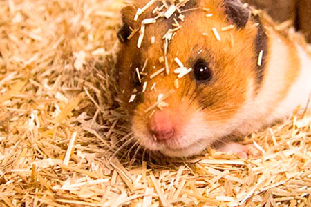 Hamster in bunnyBedding Active
