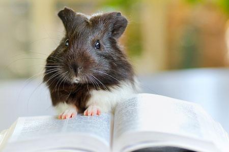 belesenes Meerschweinchen